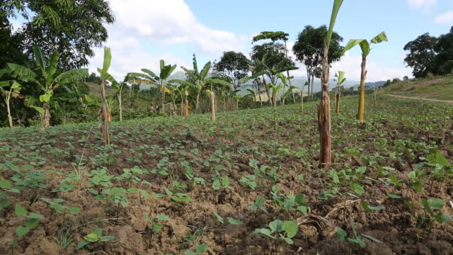 vidéos et rushes de of a newly subdued field with probably young coffee seedlings and banana trees that also can be seen in the background. - arbre tropical