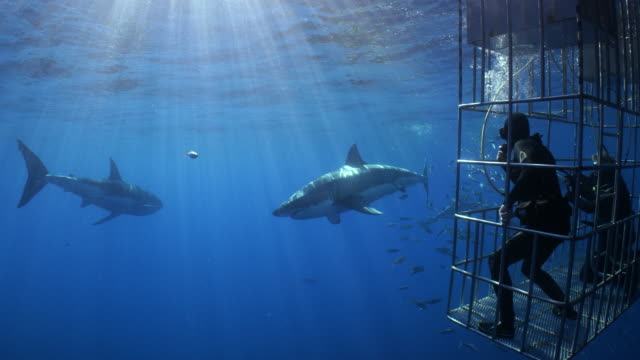 a pair of divers watch two great white sharks from a shark cage - 檻点の映像素材/bロール