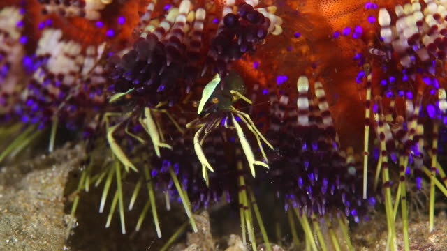 a pair of shrimp nest in a fire urchin -close up