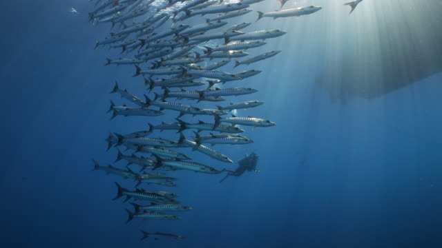 a panning shot of a diver observing a large school of barracuda in the open ocean - barracuda stock videos & royalty-free footage