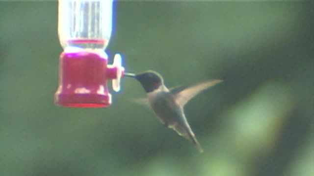 slo mo of a ruby-throated hummingbird at a feeder - ruby throated hummingbird stock videos and b-roll footage