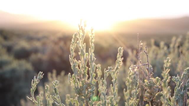 cu of a sage bush in arizona - セージブラッシュ点の映像素材/bロール