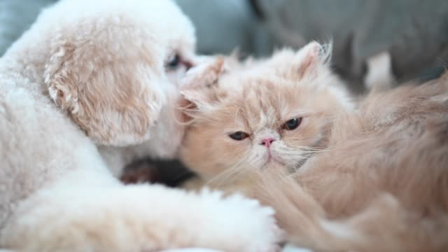 a toy poodle licking on a cat on bed making friends while the cat ignoring the irritating puppy - cushion stock videos & royalty-free footage