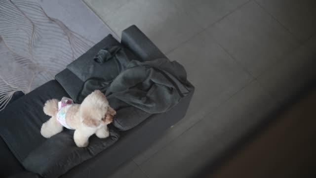 vídeos de stock, filmes e b-roll de um poodle de brinquedo esperando por seu proprietário na sala de estar no sofá - almofada