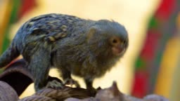 a tree branch, worlds smallest tropical monkey specie from the amazon basin of America, popular cute pets