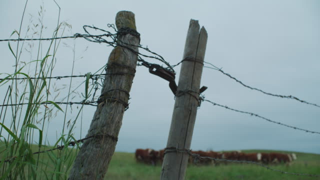 vidéos et rushes de cu of a weathered barb-wire fence with wooden posts and cattle huddled in a green pasture in the background. - vache frisonne
