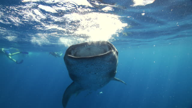 a whale shark feeding vertically at the surface of the water