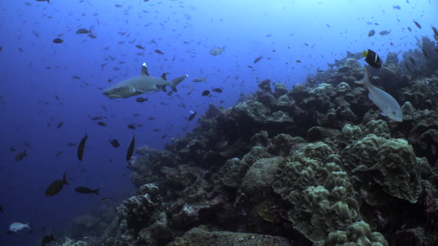a white tip reef shark swims by a coral reef - whitetip reef shark stock videos & royalty-free footage