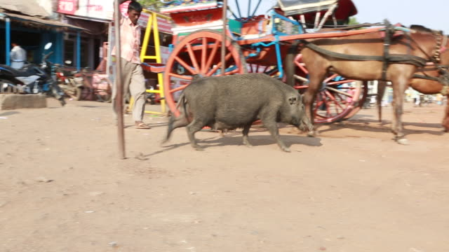 vídeos de stock e filmes b-roll de of a wild pig that is looking for food on the ground at the roadside on march 29, 2013 in bijapur, india. a horse buggy can be seen in the background. - carroça puxada por cavalo