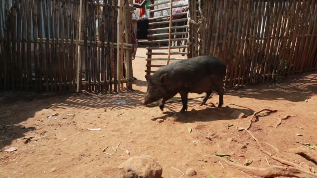 WS PAN of a wild pig that is walking out of a stall at a stock farming in a rural area about 300 Kilometer from Kolkata India