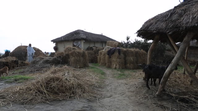 ws pan of a woman that is feeding straw to three goats under a mud hut in a rural area of a village near birgunj a border town in parsa district of... - tetto di paglia video stock e b–roll
