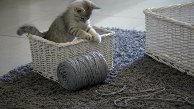 stockvideo's en b-roll-footage met a young gray kitten playing - mand