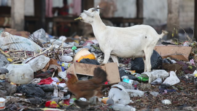 vídeos de stock e filmes b-roll de of a young white goat that is eating a banana that it has found in a pile of rubbish at a run-down marketplace in a poor neighbourhood of... - hispaniola