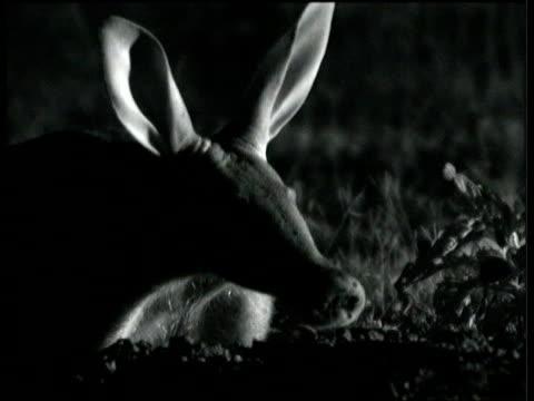 Aardvark sniffs the night air on savanna