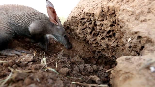aardvark/african ant bear(orycteropus afer) digging into termite mound - burrow stock videos & royalty-free footage