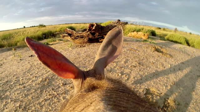 Aardvark/African Ant bear(Orycteropus afer) point of view walking across open ground