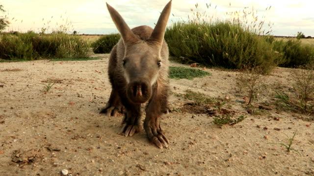 Aardvark/African Ant bear(Orycteropus afer) walking across open ground