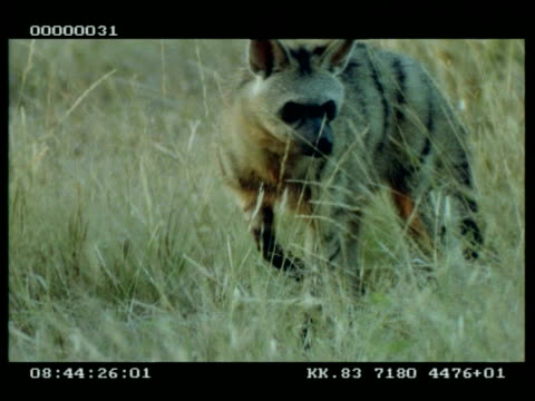 CU Aardwolf in long dry grass, foraging, walks to camera