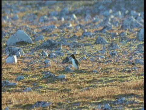 abandoned juvenile guillemot runs amongst rocks, arctic fox runs in and grabs it, svalbard - auk stock videos & royalty-free footage