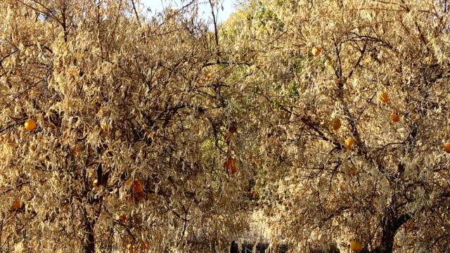 Abandoned orange trees