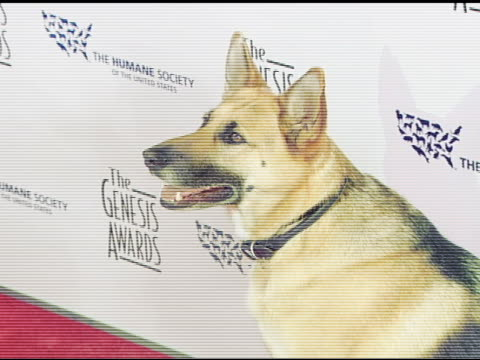 Abbey the German Shephard who appeared in 'I Am Legend' at the 2008 Genesis Awards at the Beverly Hilton in Beverly Hills California on March 30 2008