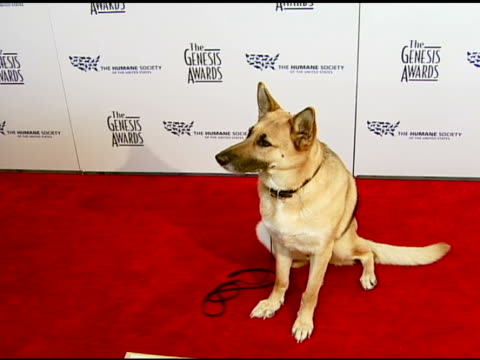 Abbey the German Shepherd who appeared in 'I Am Legend' at the 2008 Genesis Awards at the Beverly Hilton in Beverly Hills California on March 30 2008