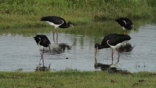 abdim''s stork (ciconia abdimii)- feed in shallow water - medium group of animals stock videos & royalty-free footage