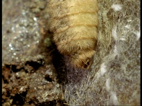 bcu abdomen of female vapourer moth (orgyia antiqua) releasing scent, england - animal abdomen stock videos and b-roll footage