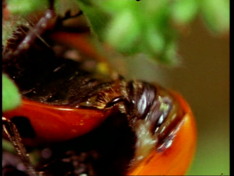 bcu abdomens of mating ladybird beetles, united kingdom - animal abdomen stock videos and b-roll footage