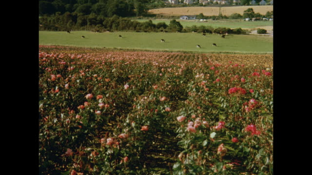 1981 aberdeen road lined with roses, fields of roses, trophies won in rose competitions - aberdeen schottland stock-videos und b-roll-filmmaterial