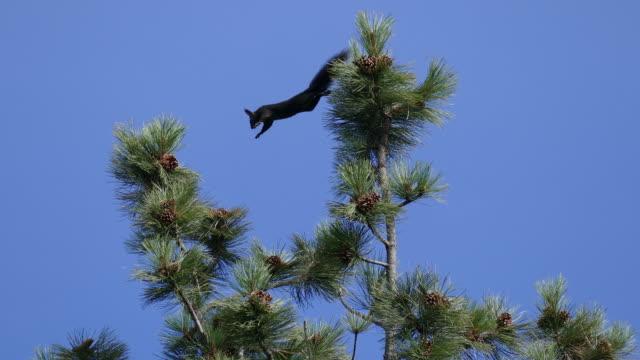 Abert's squirrel jumps pine tree Mount Falcon Park Morrison Colorado