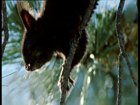 abert's squirrel picks fresh shoot from ponderosa pine, new mexico - とげ点の映像素材/bロール