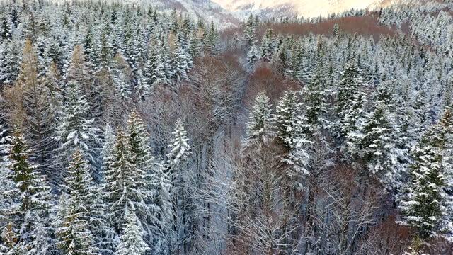 stockvideo's en b-roll-footage met abetone forest in winter, tuscany, italy - conifeer