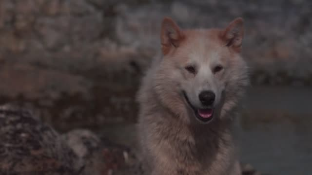able to pull a sled up to 120 kilometers per day greenlandic dogs have long been used by inuit hunters on the sea ice tracking seals and whales in... - inuit stock videos & royalty-free footage