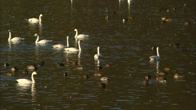 about a dozen tundra swans (cygnus columbianus) and about a dozen mallards (anas platyrhynchos) - water bird stock videos & royalty-free footage