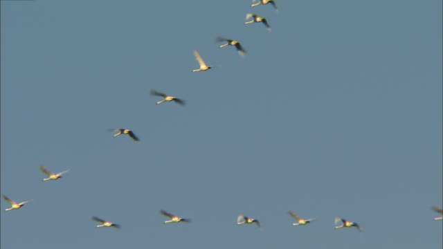 about a dozen tundra swans (cygnus columbianus) in flight above oyama shimo-ike pond - water bird stock videos & royalty-free footage