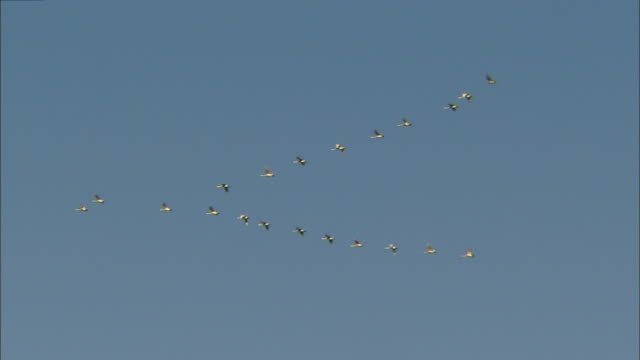 vídeos de stock, filmes e b-roll de about a dozen tundra swans (cygnus columbianus) in v formation above oyama shimo-ike pond - birds flying in v formation