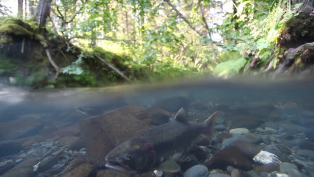 above / below scene of a pink, also known as a humpy salmon is a stream,  chugach national forest, alaska. - chugach national forest stock videos & royalty-free footage
