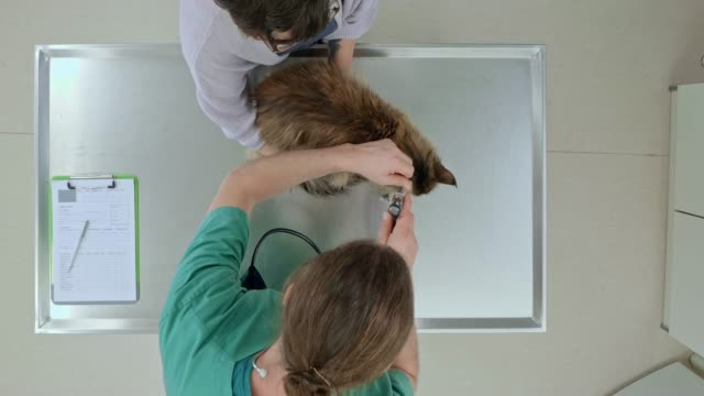 ld above the male vet checking the cat's ears on the examination table - examination table stock videos & royalty-free footage