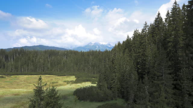 AERIAL Above the spruce tree forest clearing