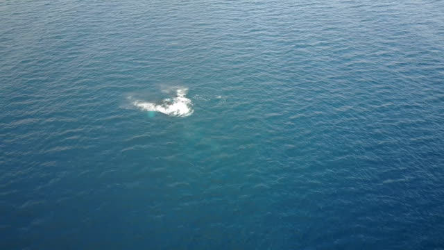 above whales breaching off coast of maui - pacific ocean stock videos & royalty-free footage