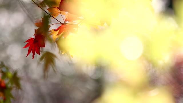 stockvideo's en b-roll-footage met abstract blurred achtergrond: herfst rood verlof obara toyota nagoya japan - hd format