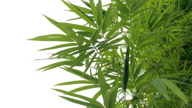 abstract lush foliage on white background ,bamboo - foglia video stock e b–roll