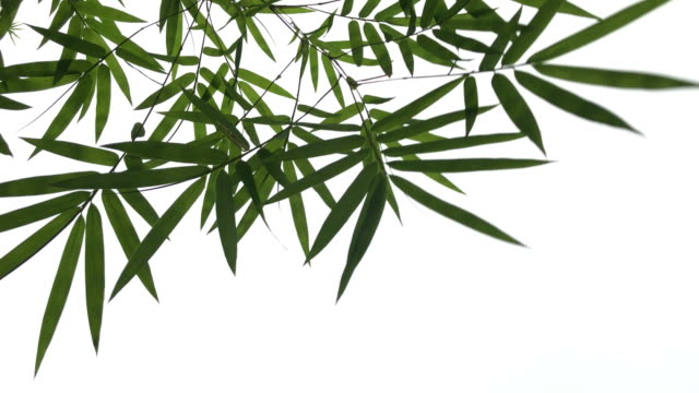 abstract lush foliage on white background ,Bamboo