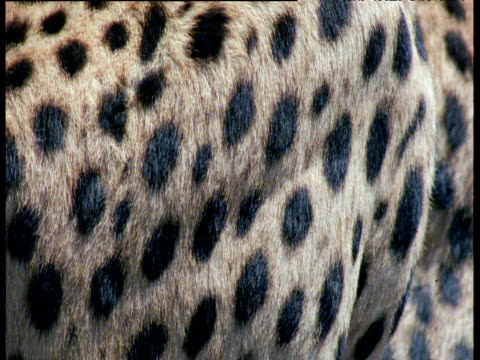 abstract shot of cheetah's spotty coat - animal hair stock-videos und b-roll-filmmaterial