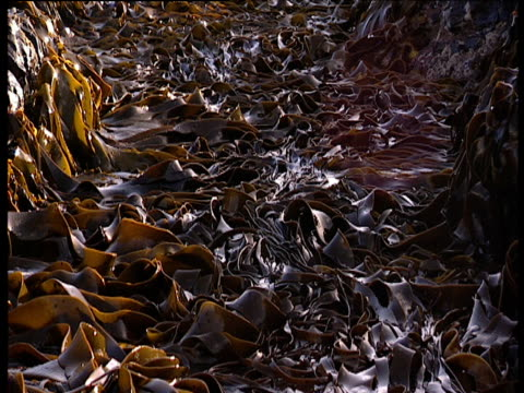 vidéos et rushes de abstract shot of thick seaweed rolling on sea swell - varech