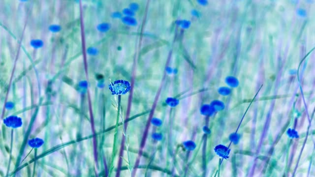 abstract video of wildflowers with inverted blue color moving in the wind - miami dade county stock videos & royalty-free footage