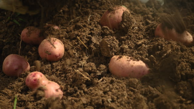 abundance of potato - raw potato stock videos & royalty-free footage