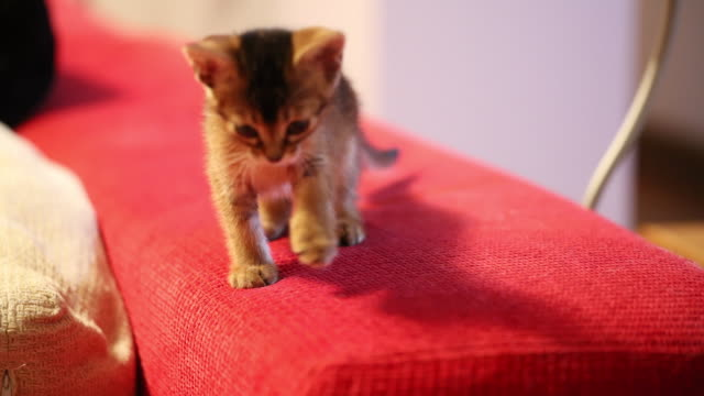 Abyssinia kitten scratching a red sofa