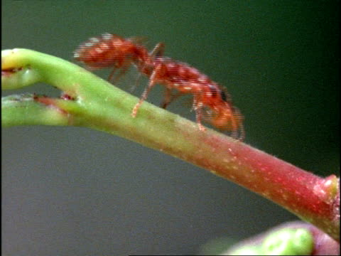 12 Acacia Ant Video Clips Footage Getty Images